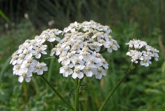 Yarrow and Yarrow oil