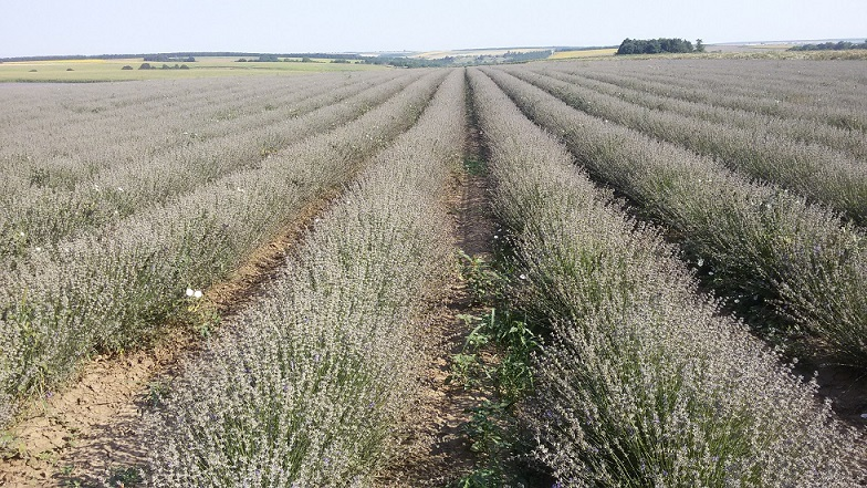 Trade with, buying and selling, lavender, lavender seeds, lavender blossom, lavender oil, Dobrudzha, Bulgaria, European Union, Europe (3)