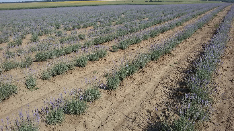 Trade with, buying and selling, lavender, lavender seeds, lavender blossom, lavender oil, Dobrudzha, Bulgaria, European Union, Europe (4)